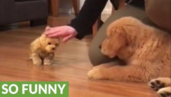 Золотистый ретривер приревновал хозяйку к игрушечному щенку – забавное видео - Sputnik Армения
