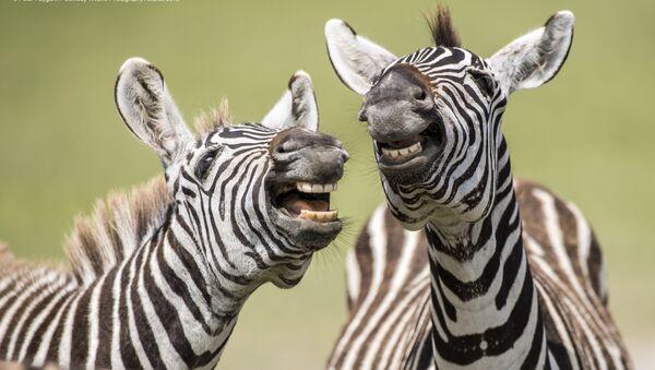Снимок Laughing Zebra британского фотографа Peter Haygarth, вошедший в список финалистов конкурса Comedy Wildlife Photography Awards 2019 - Sputnik Արմենիա