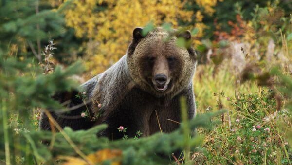 Медведь гризли на природе Британской Колумбии  - Sputnik Армения