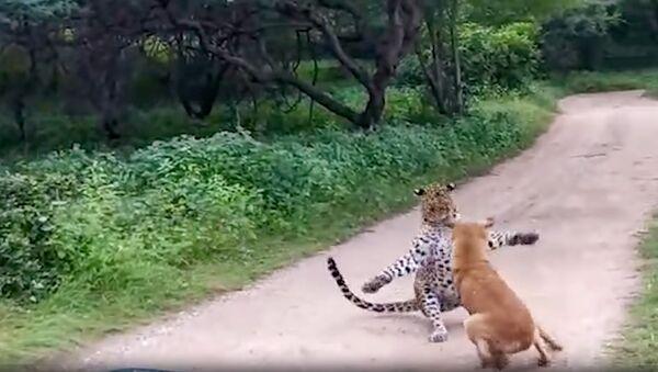 Леопард решил напасть на собаку - Sputnik Армения