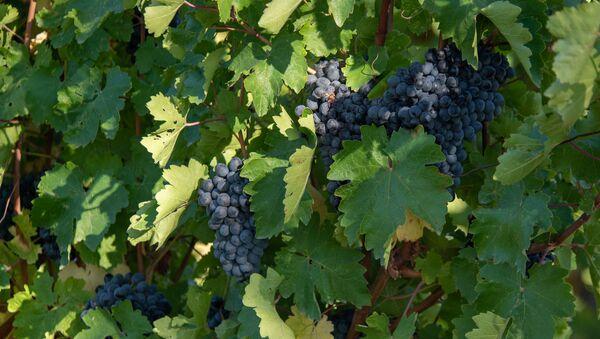 Сбор и закупка винограда в селе Ахавнадзор - Sputnik Армения
