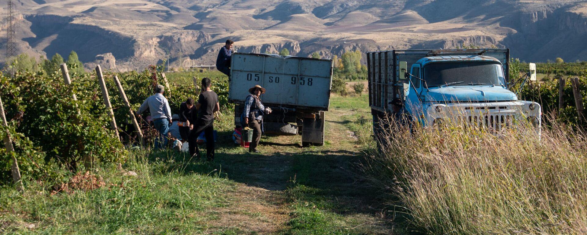 Сбор и закупка винограда в селе Ахавнадзор - Sputnik Արմենիա, 1920, 14.09.2021