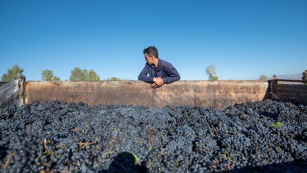 Сбор и закупка винограда в селе Ахавнадзор - Sputnik Արմենիա