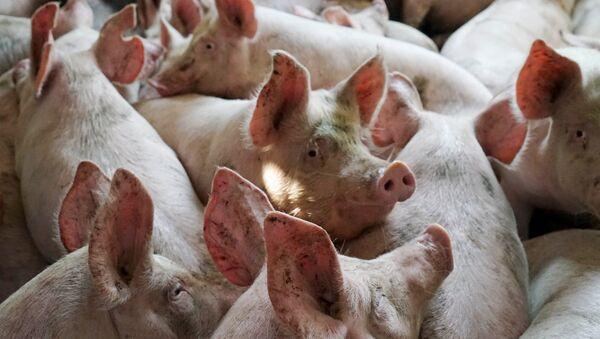 Свиньи - Sputnik Արմենիա