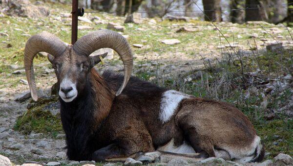 Муфлон в парке дикой природы в Бад-Мергентхайм, Германия - Sputnik Армения