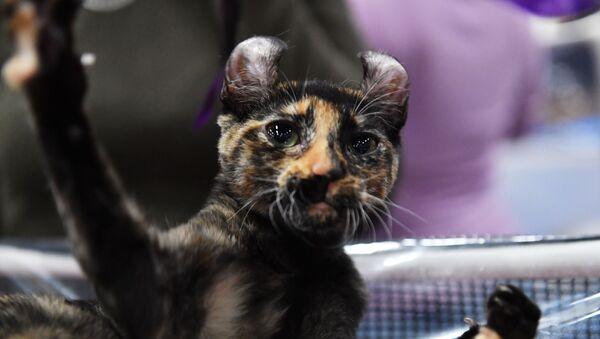 Кошка породы эльф - Sputnik Արմենիա