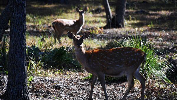 Пятнистые оленухи  в экопарке Леопарды на Гамова в Приморском крае - Sputnik Армения