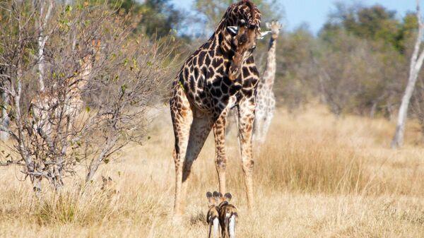Жираф и дикие собаки в заповеднике в Ботсване  - Sputnik Армения