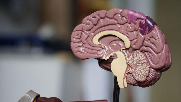 Модель человеческого мозга - Sputnik Армения