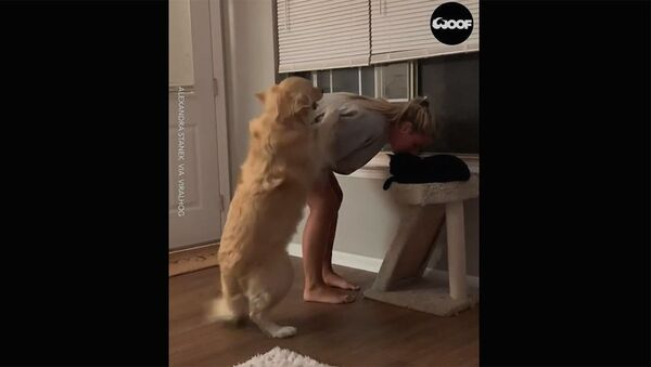 Золотистый ретривер ревнует хозяйку, которая уделяет внимание кошке - Sputnik Արմենիա