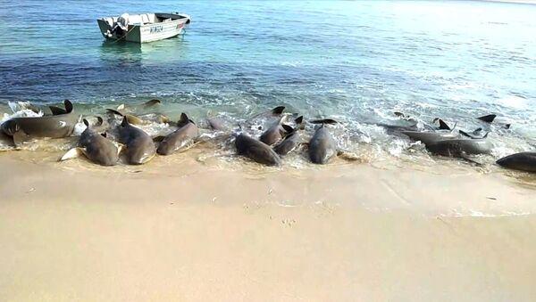 Танец акул у Острова Мюррей - Sputnik Արմենիա