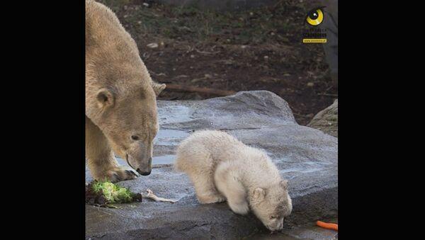 Детеныш белого медведя делает первые шаги в зоопарке Вены - Sputnik Армения