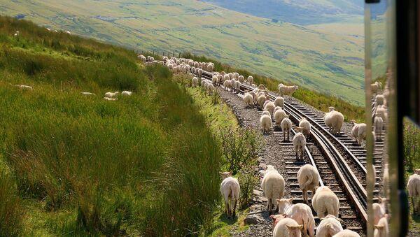 Овцы на железной дороге - Sputnik Արմենիա