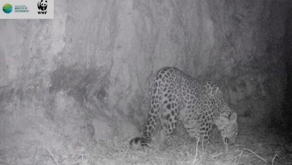Леопард в Енокаване - Sputnik Армения