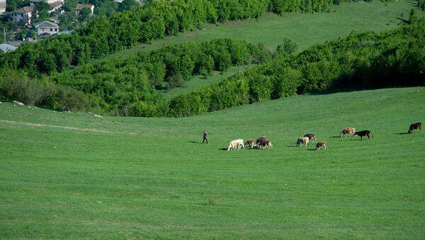Пастух со стадом коров - Sputnik Армения