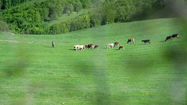 Пастух со стадом коров - Sputnik Արմենիա