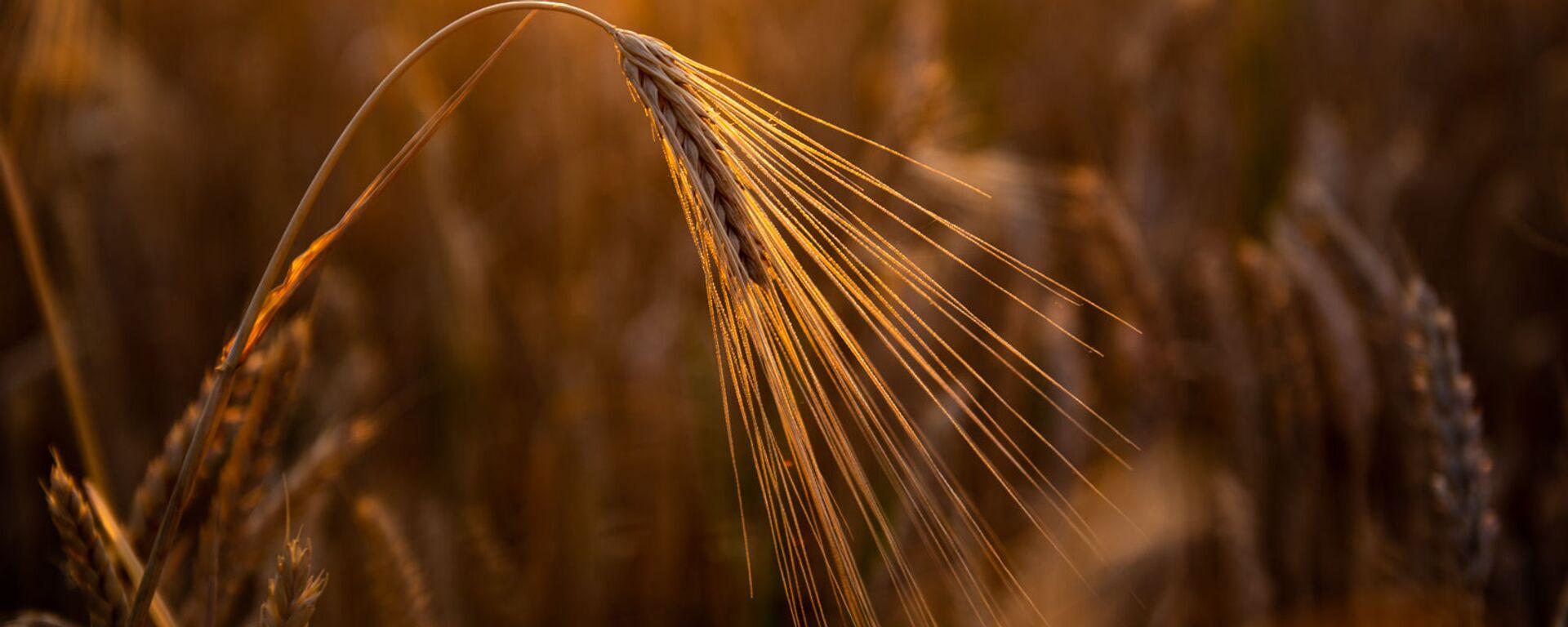 Пшеничное поле - Sputnik Армения, 1920, 08.07.2020