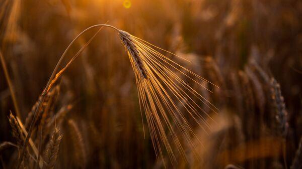 Пшеничное поле - Sputnik Արմենիա