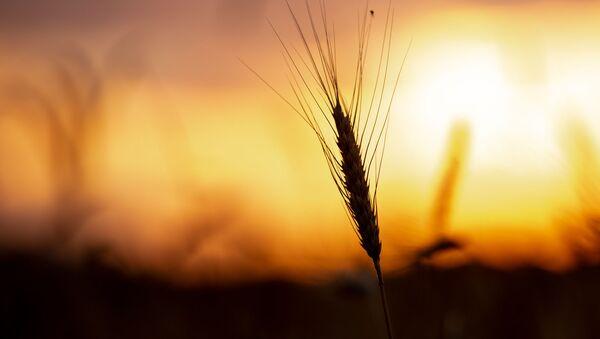Пшеничное поле - Sputnik Армения