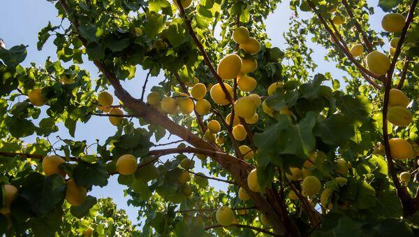 Сбор абрикосов в селе Айгешат, Армавир - Sputnik Արմենիա