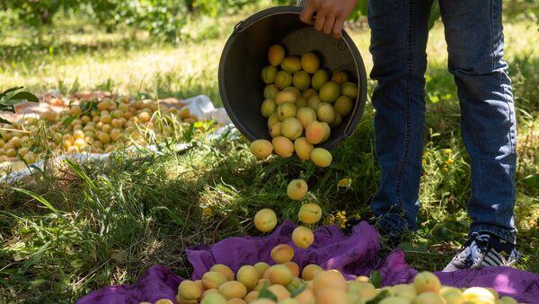 Сбор урожая абрикосов в селе Айгешат (29 июня 2020). Армавирская область - Sputnik Արմենիա
