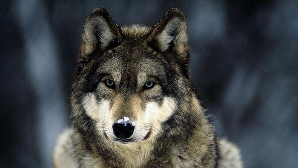 Волк - Sputnik Армения