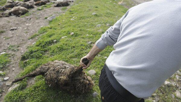 Хозяин барашка уносит погибших овец с дороги - Sputnik Արմենիա