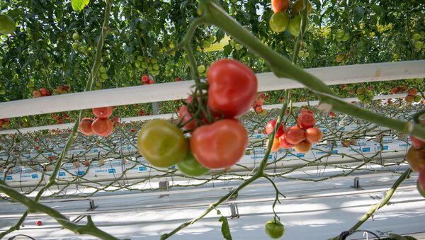 Армянские помидоры - Sputnik Армения