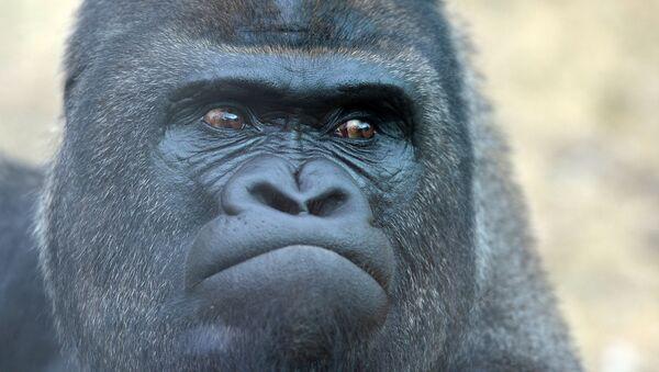 Западная равнинная горилла - Sputnik Армения