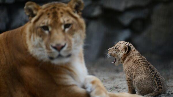 Лигрица впервые показала детенышей гостям Новосибирского зоопарка - Sputnik Армения