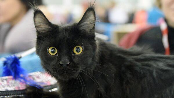 XIII Международная выставка кошек Гран-при Royal Canin 2014 - Sputnik Արմենիա