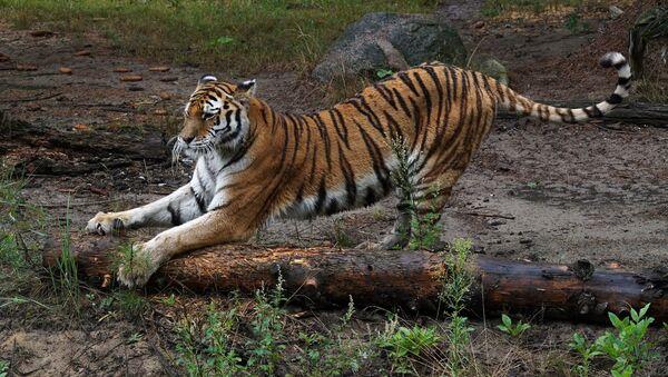 Тигр. Зоопарк в Эберсвальде - Sputnik Армения