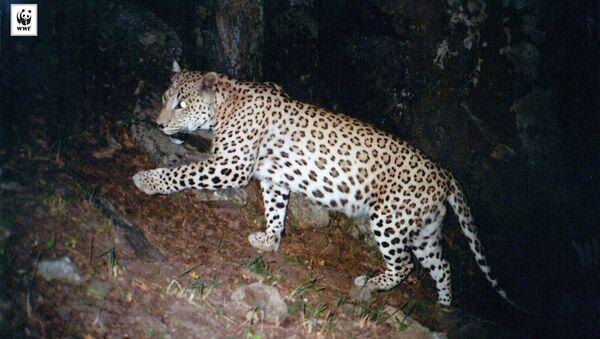 Кавказский Леопард  - Sputnik Армения