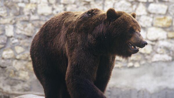 Бурый медведь - Sputnik Արմենիա