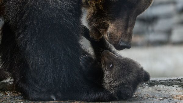 Бурая медведица с медвежонком - Sputnik Արմենիա