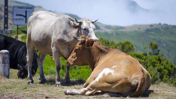 Коровы - Sputnik Արմենիա